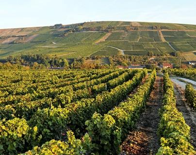 Vignes - Sancerre