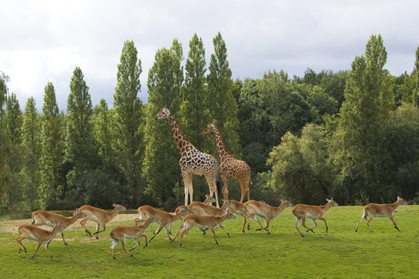 Safari en Ile-de-France girafes et antilopes