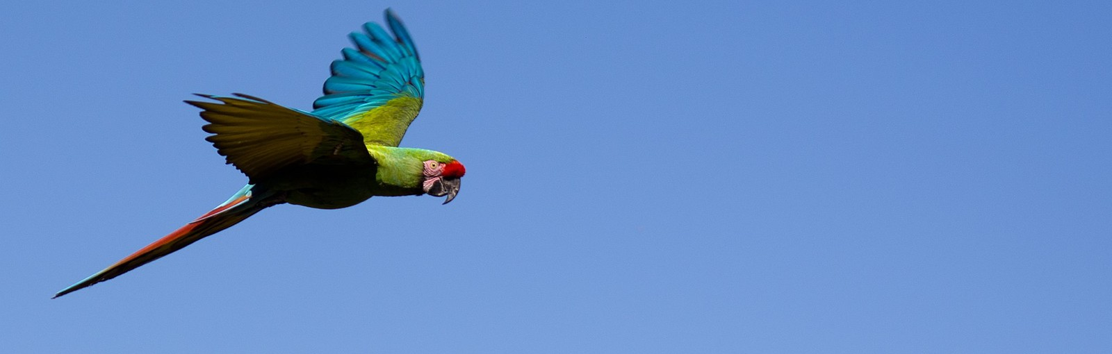 Vol de Perroquet