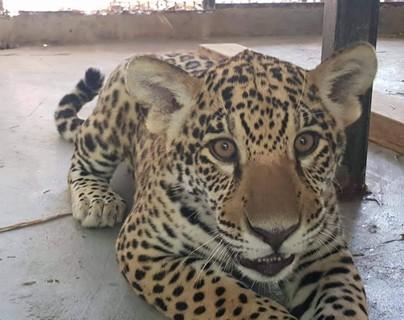 Jaguar parc